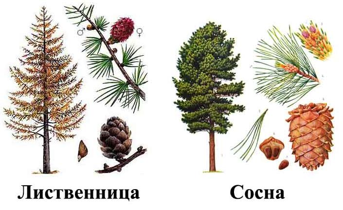 сравнение сосны и лиственницы